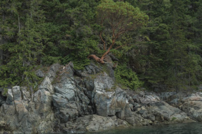 Sightseeing: The most notherly Arbutus Tree