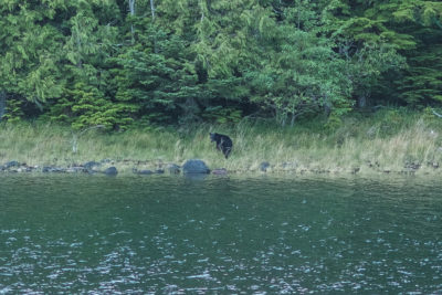 Bear at the mouth of Trounce Inlet, Haida Gwaii